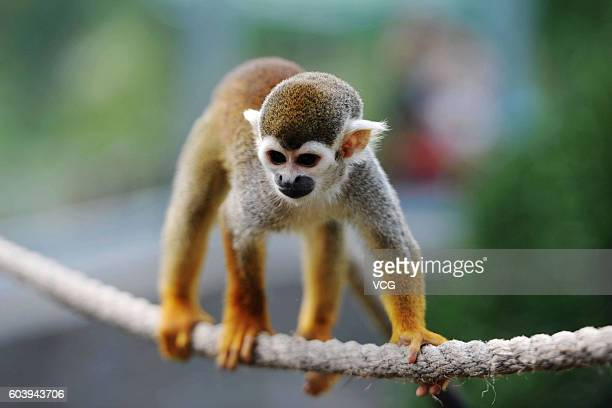 A squirrel monkey looks feeders setting 'mooncakes' above water on a rope at Forest Wild Animal World on September 13 2016 in Qingdao Shandong...