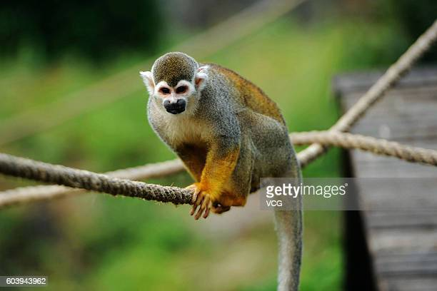 A squirrel monkey looks feeders setting 'mooncakes' above water on ropes at Forest Wild Animal World on September 13 2016 in Qingdao Shandong...