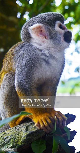 Squirrel Monkey On Rock In Forest