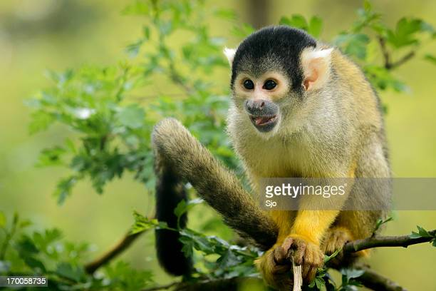 Squirrel monkey sitting in tree