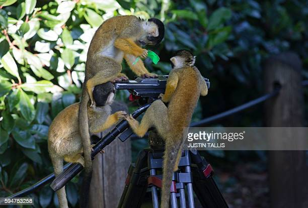 Squirrel monkeys climb onto a tripod and remove a piece of bright coloured tape after they are weighed during a photocall at London Zoo on August 24...
