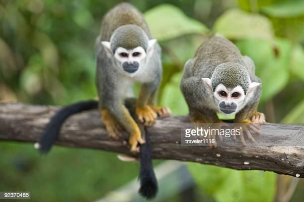 Écureuil Monkey