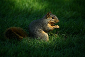 A squirrel nibbles a nut during a practice round for the World Golf Championship Bridgestone Invitational at Firestone Coutry Club on August 4 2015...