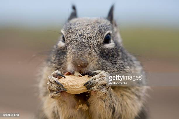 Squirrel nibbling on a peanut with a blurred background
