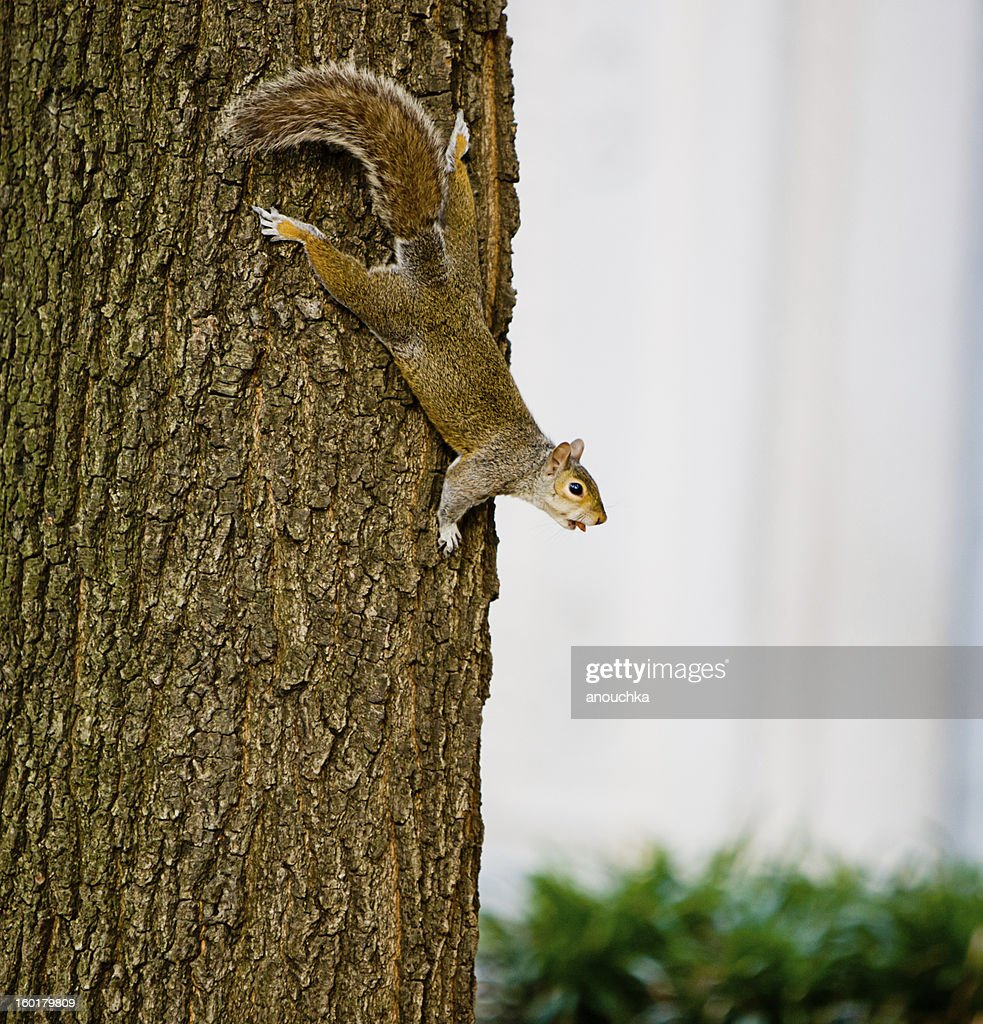 Squirrel on a tree : Stock Photo
