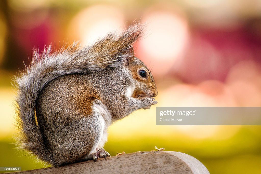 Squirrel on park bench : Stock Photo
