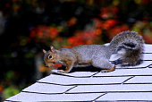 Squirrel on the Roof