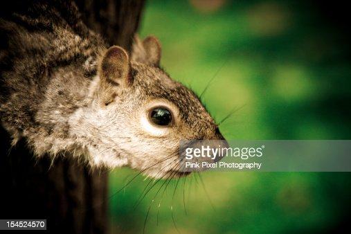 Squirrel : Stock Photo