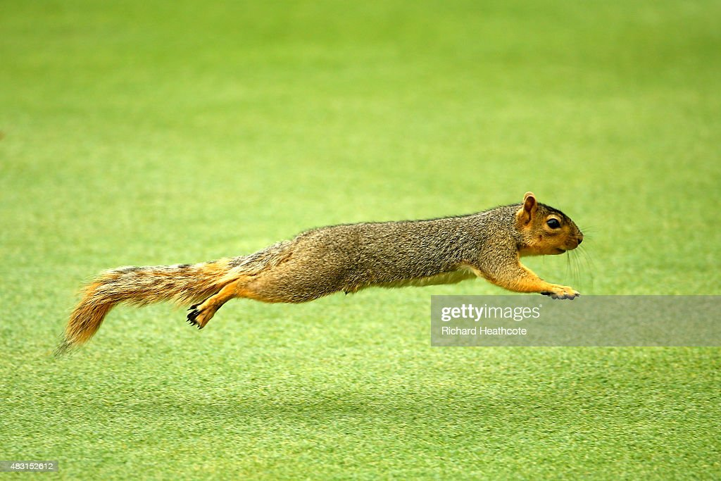 A squirrel runs across a fairway during the first round of the World Golf Championships Bridgestone Invitational at Firestone Country Club South...