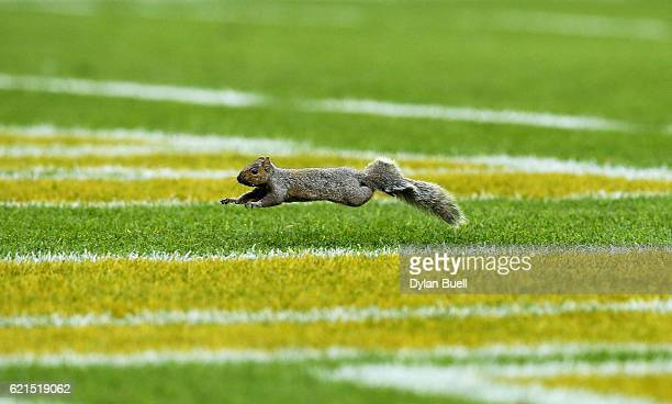 A squirrel runs across the field during the game between the Green Bay Packers and the Indianapolis Colts at Lambeau Field on November 6 2016 in...
