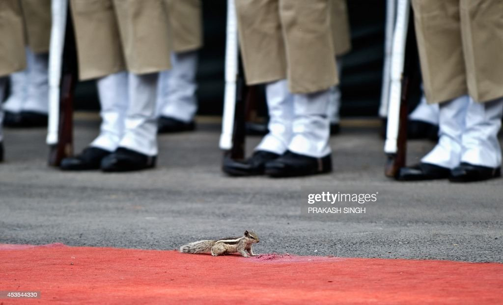 A squirrel runs in front of the guards of honour lined up during a full dress rehearsal for the 68th Independence Day celebrations at the Red Fort in New Delhi on August 13, 2014. India celebrates its anniversary of independence from Britain on August 15 with great pomp, with the Indian tricolour hoisted atop prominent buildings and homes. AFP PHOTO / Prakash SINGH