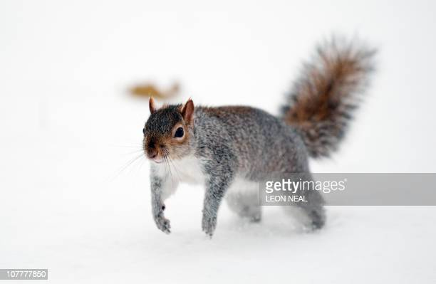 A squirrel runs through the snow in Saint James' Park central London on December 18 2010 Britain was hit on December 18 by more blizzards that shut...
