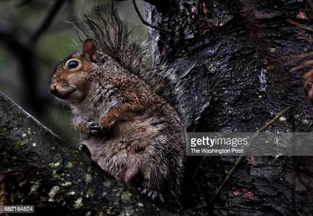 A squirrel seemed to be chilling in a tree in Silver Spring to escape the rain Her tail was wet and matted which proves that even animals can have a...