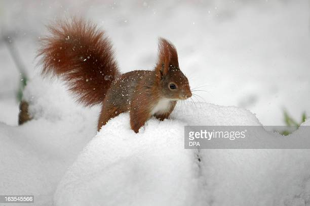 A squirrel sits in a snowy garden in Wiesbaden western Germany on March 12 2013 Winter came back to wide parts of the country bringing snow and cold...