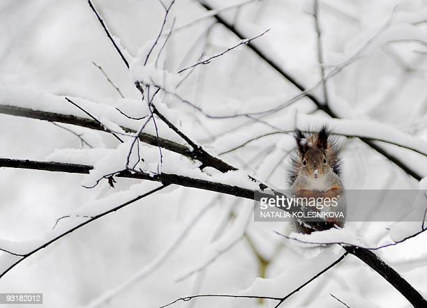 A squirrel sits on a snowy tree branch in a Moscow park on November 17 2009 Moscow is undergoing its first snows of the winter as temperatures...