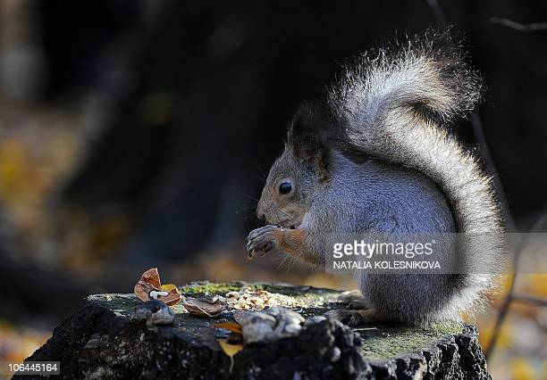 A squirrel sits on a stump in a Moscow park on October 31 2010 AFP PHOTO / NATALIA KOLESNIKOVA