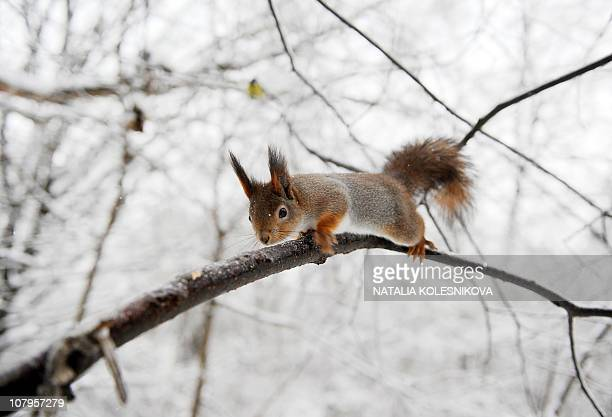 A squirrel sits on an ice covered branch in a park in Moscow on December 30 2010 Icy rain fell in Moscow covering streets trees and cars with ice...