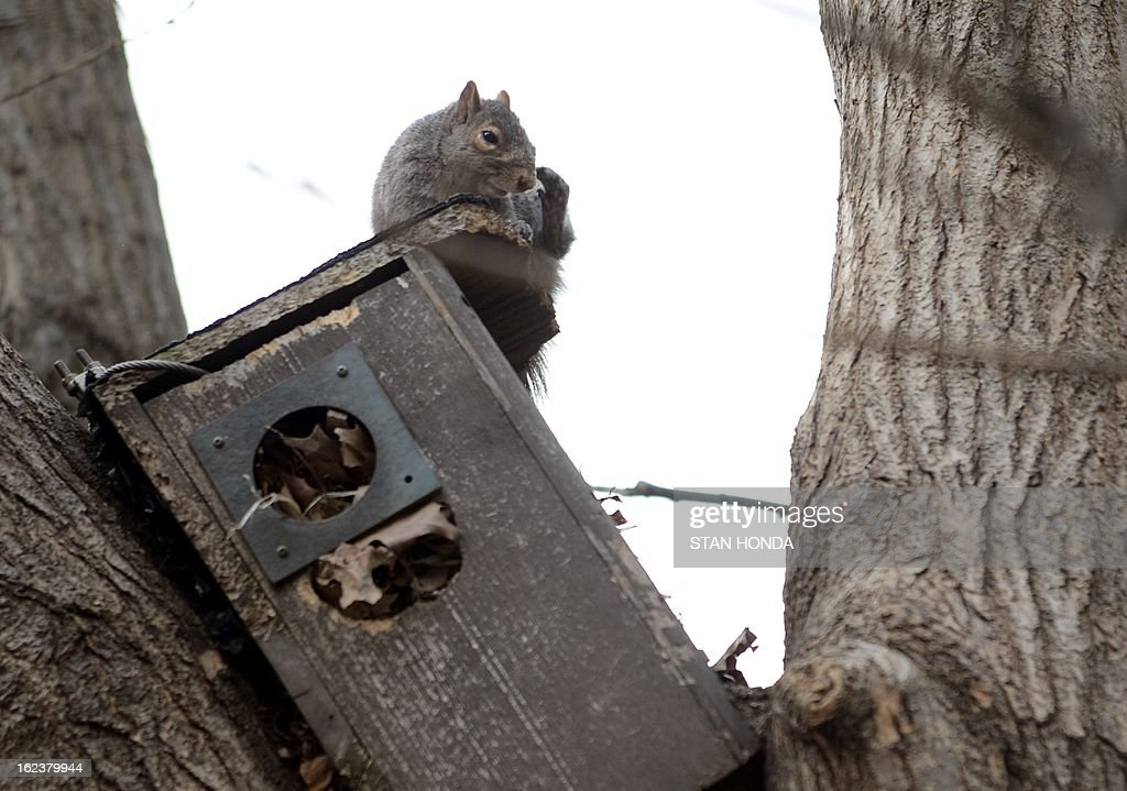 A squirrel sits on top of an abandoned bird house in a tree where it had gathered dried leaves February 22, 2013 in New York's Union Square Park. AFP PHOTO/Stan HONDA