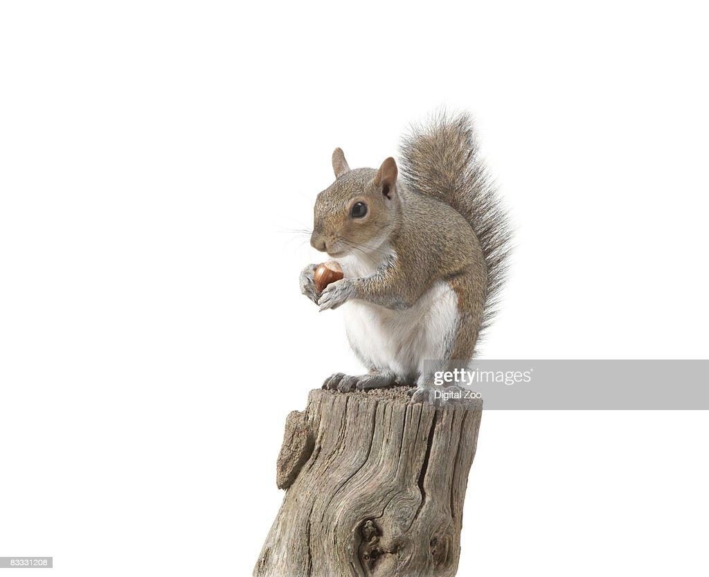 Squirrel sitting on log eating nut