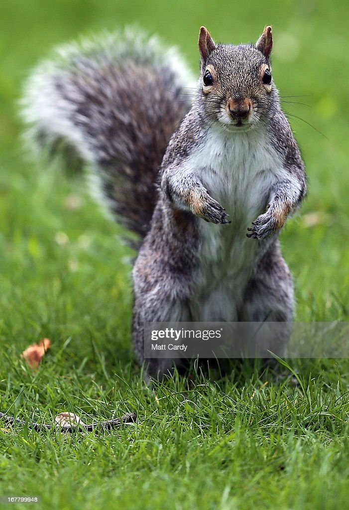 A squirrel stands among fallen blossom leaves in Royal Victoria Park on April 30 2013 in Bath England After one of the coldest winters on record and...