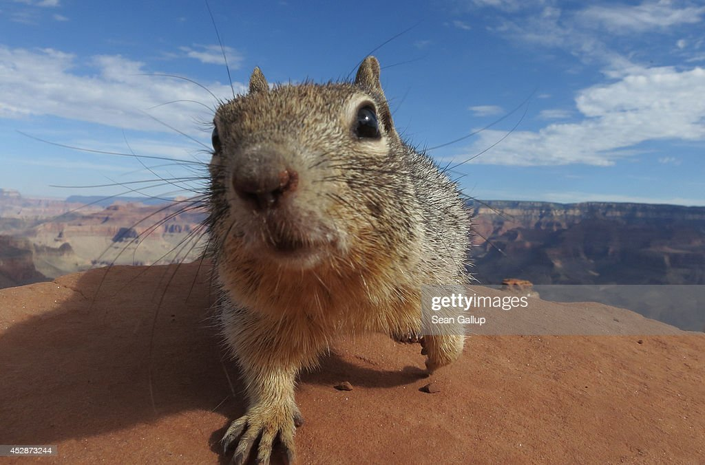A squirrel stands at the South Keibab Trail at the Grand Canyon South Rim on July 13 2014 at Grand Canyon National Park Arizona The Grand Canyon is...