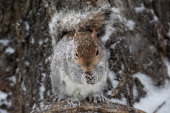 A squirrel stands in the snow on the National Mall January 21 2014 in Washington DC A strong winter storm is bearing down on the East Coast between...