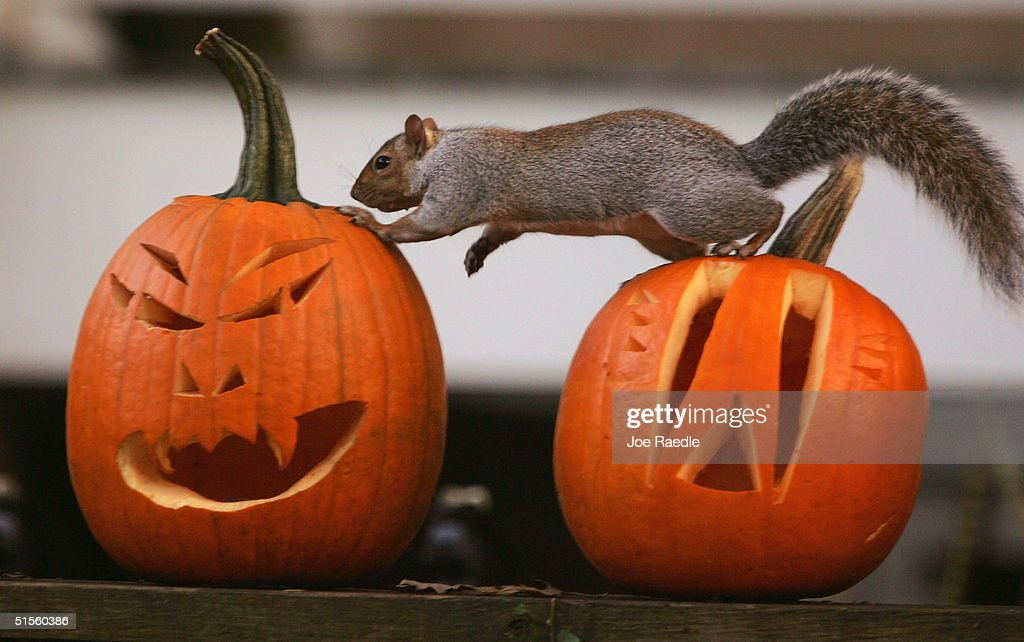 A squirrel stands on pumpkins carved into Halloween jacko'lanterns October 25 2004 in Washington DC Historically glowing jacko'lanterns carved from...