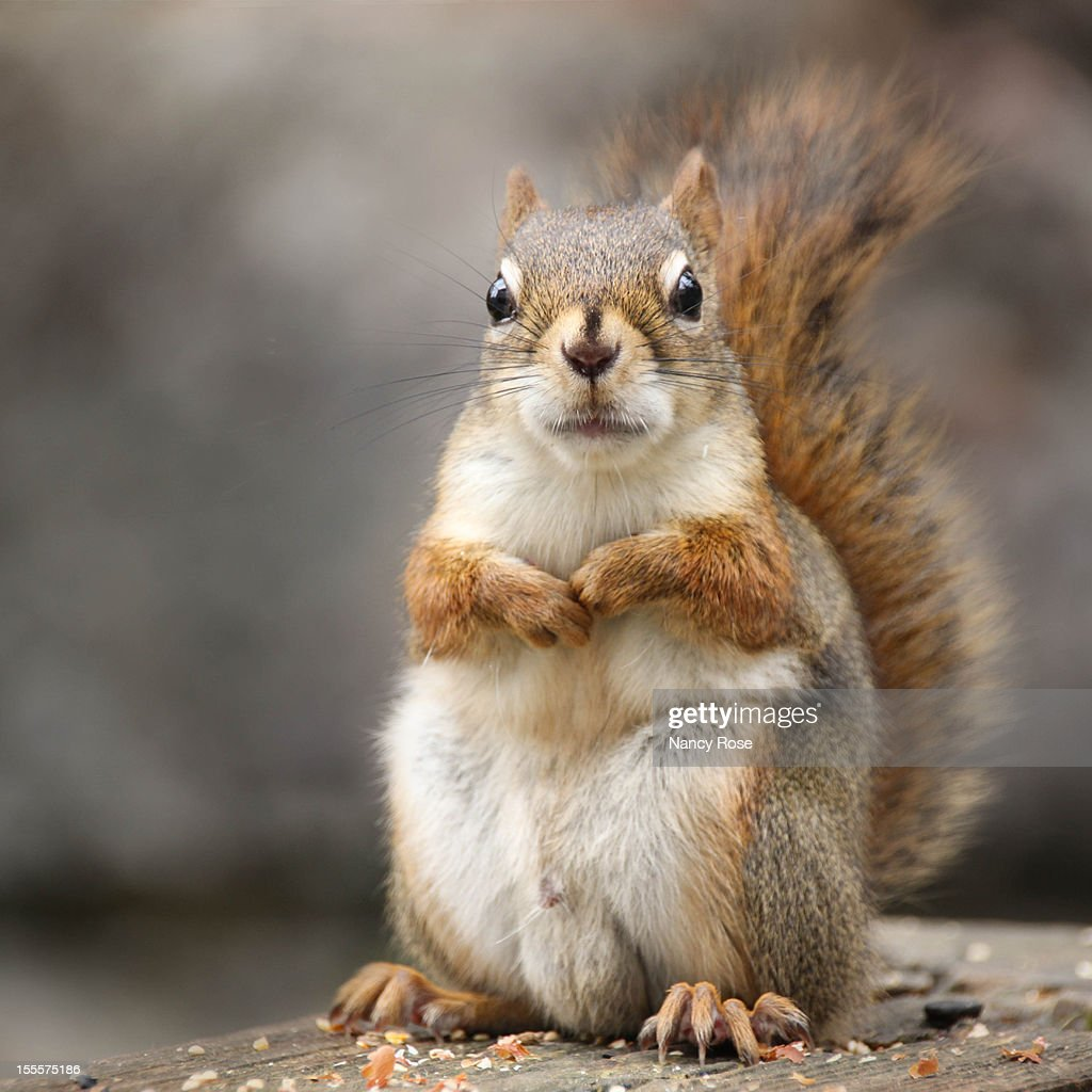 Squirrel staring at you : Stock Photo