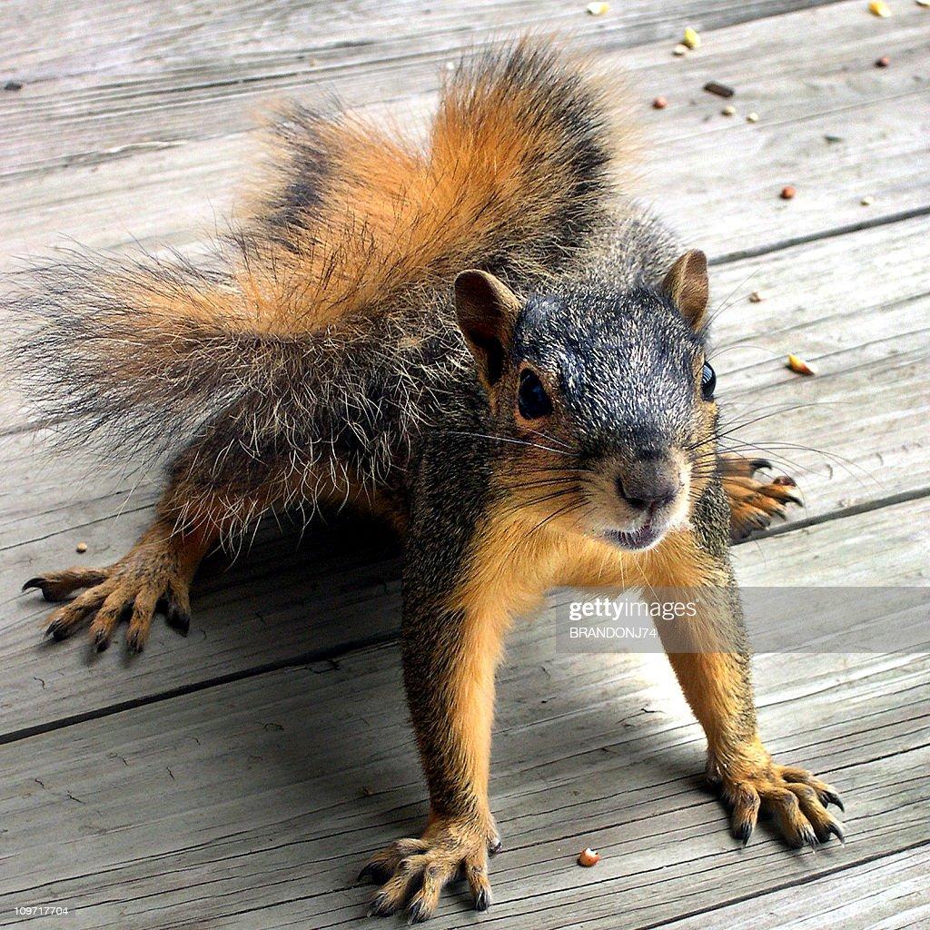 Squirrel Up Close : Stock Photo