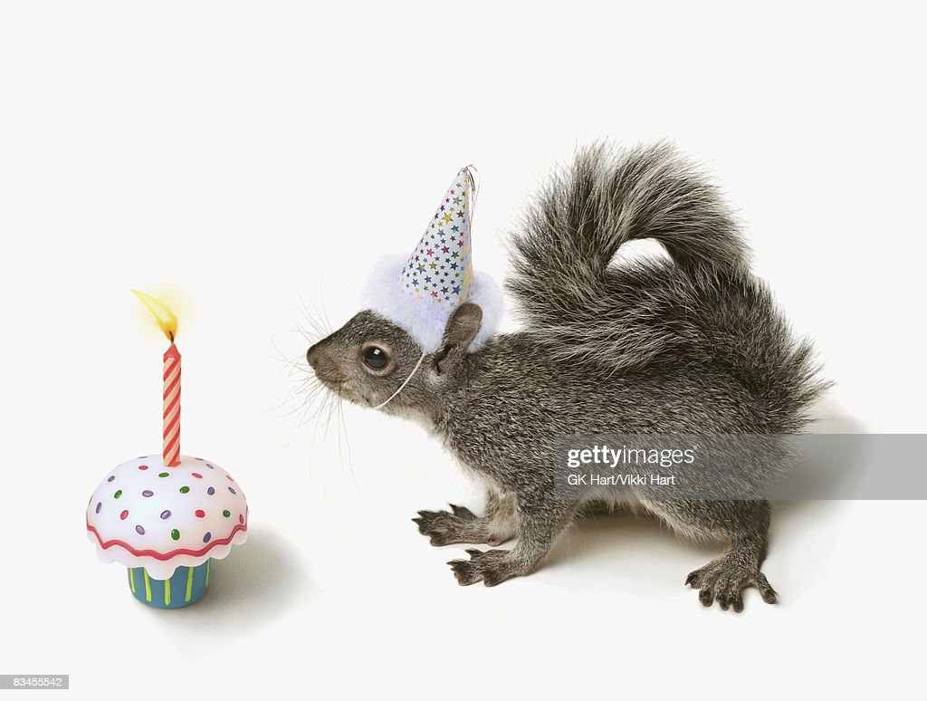 Squirrel wearing Party Hat blowing out candle  : Stock Photo