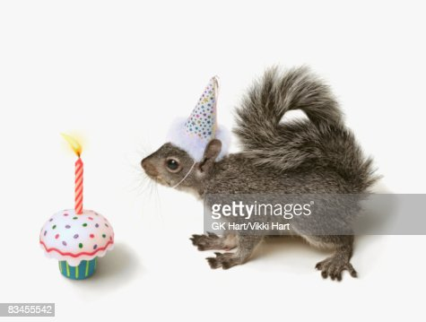 Squirrel wearing Party Hat blowing out candle  : Bildbanksbilder