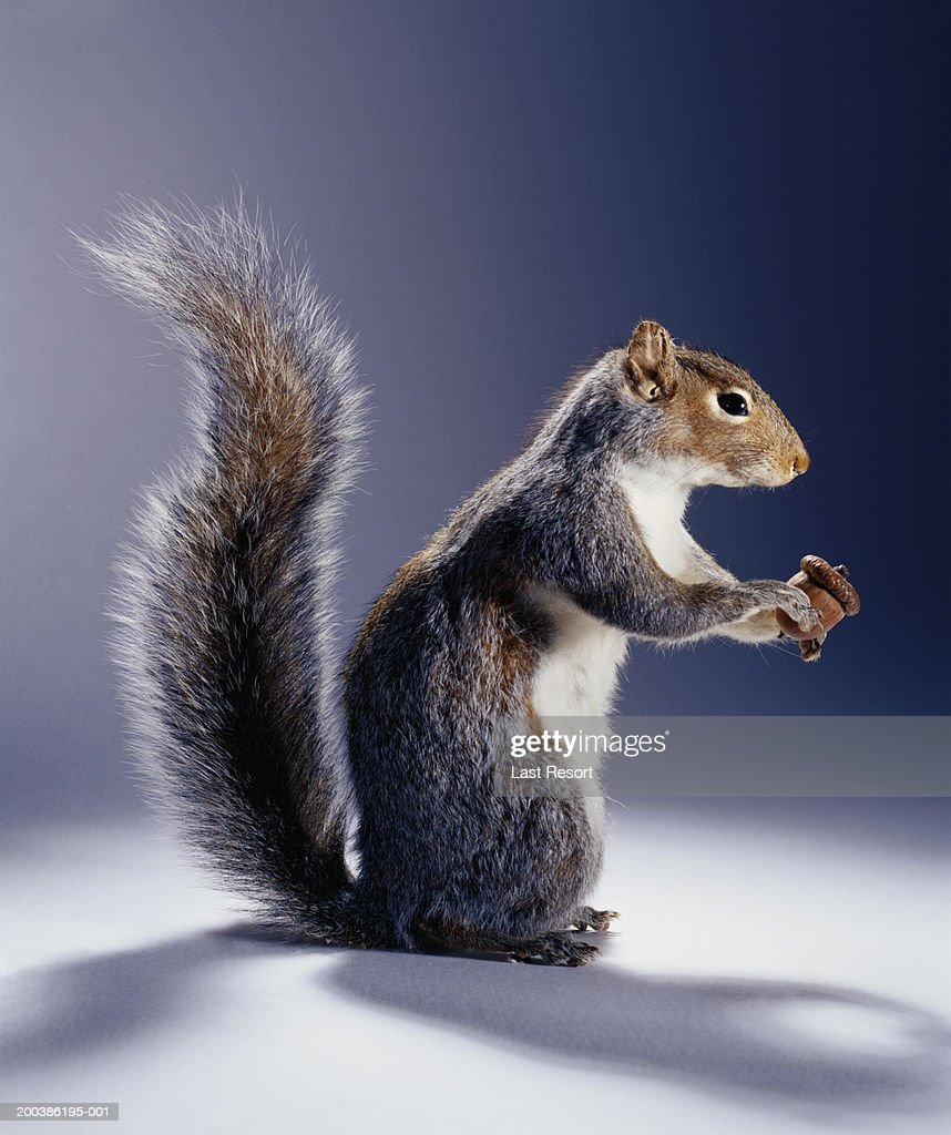 Squirrel with acorn, side view : Stock Photo