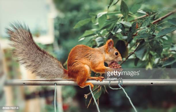 Squirrel with cedar cone sitting on a metallic pole