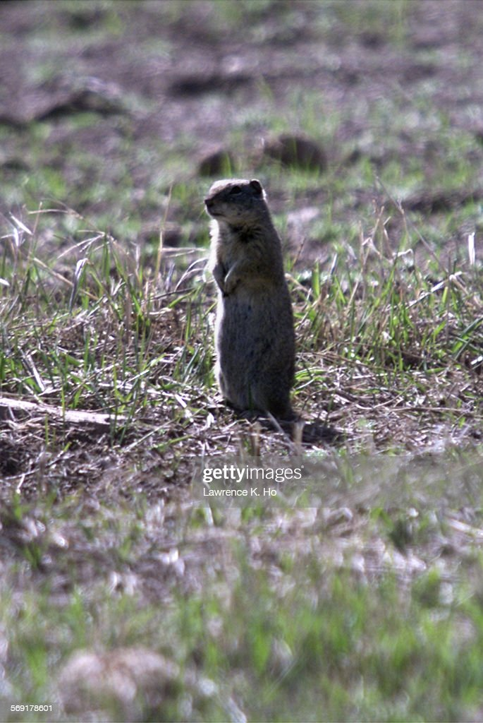 LH Squirrels hunting in Surprise Valley hosted by local chamber to help ranchers rid of the squirrels overrunning the fields causing damages to hay...