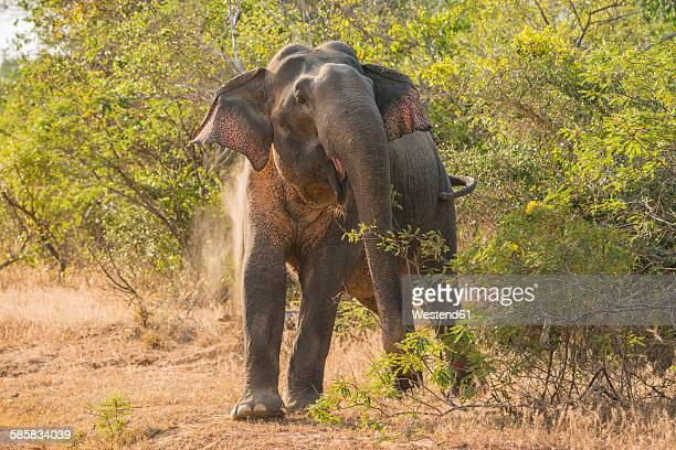 Sri Lanka, Asian Elephant