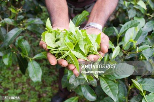 tea feild training in sri lanka How to become a scientist in chemistry in sri lanka  sri lanka tea plantation  really like chemistry and i want to become a scientist in chemistrywill this.