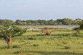 Sri Lanka, Southern Province, Yala National Park, cow elephant and calf