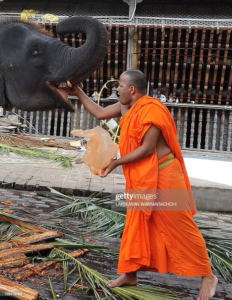 A Sri Lankan Buddhist monk feeds fruit to an elephant at Gangarama Temple in Colombo on December 16, 2012. Sri Lanka unveiled new guidelines to encourage devotees to donate low-sugar, healthier food to the country's Buddhist monks after warnings that half of them risked developing diabetes. AFP PHOTO/ LAKRUWAN WANNIARACHCHI