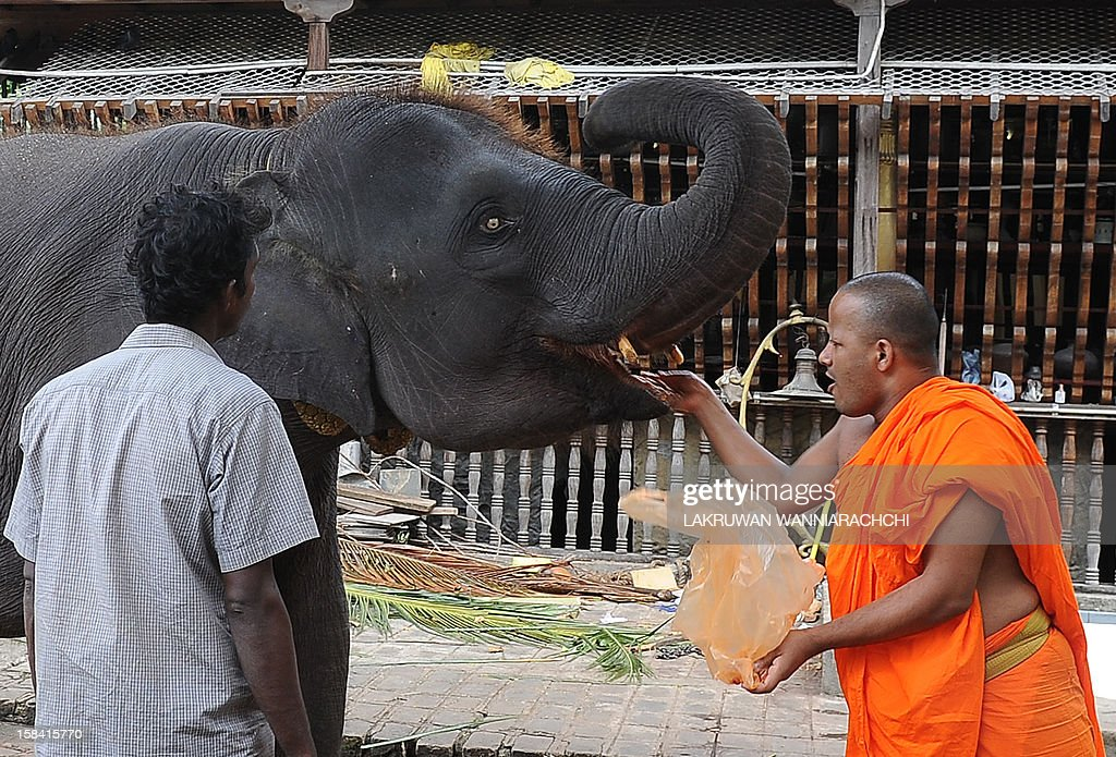 A Sri Lankan Buddhist monk feeds fruit to an elephant at Gangarama Temple in Colombo on December 16, 2012.Sri Lanka unveiled new guidelines to encourage devotees to donate low-sugar, healthier food to the country's Buddhist monks after warnings that half of them risked developing diabetes. AFP PHOTO/ LAKRUWAN WANNIARACHCHI