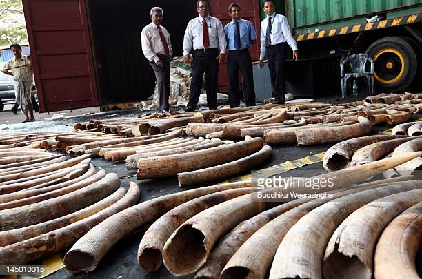 Sri Lankan custom officers stand over seized ivory at a customs warehouse on May 22 2012 in Colombo Sri Lanka Sri Lankan customs seized a container...