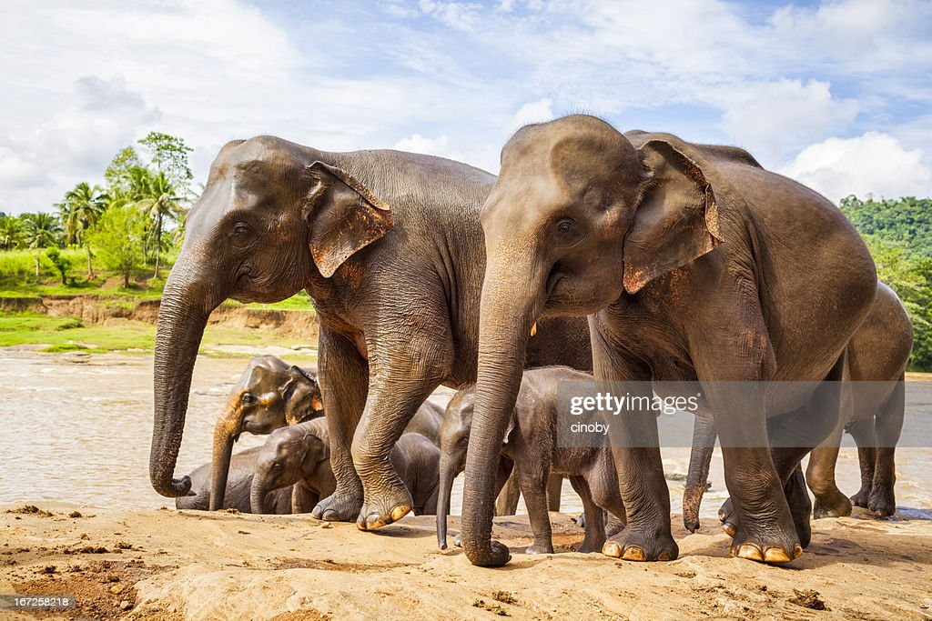 Sri Lankan Elephant : Stock Photo