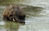 Sri Lankan elephant plays in the river at the Yala National Park in the southern district of Yala on July 18 2012 The Yala National Park some 250 kms...