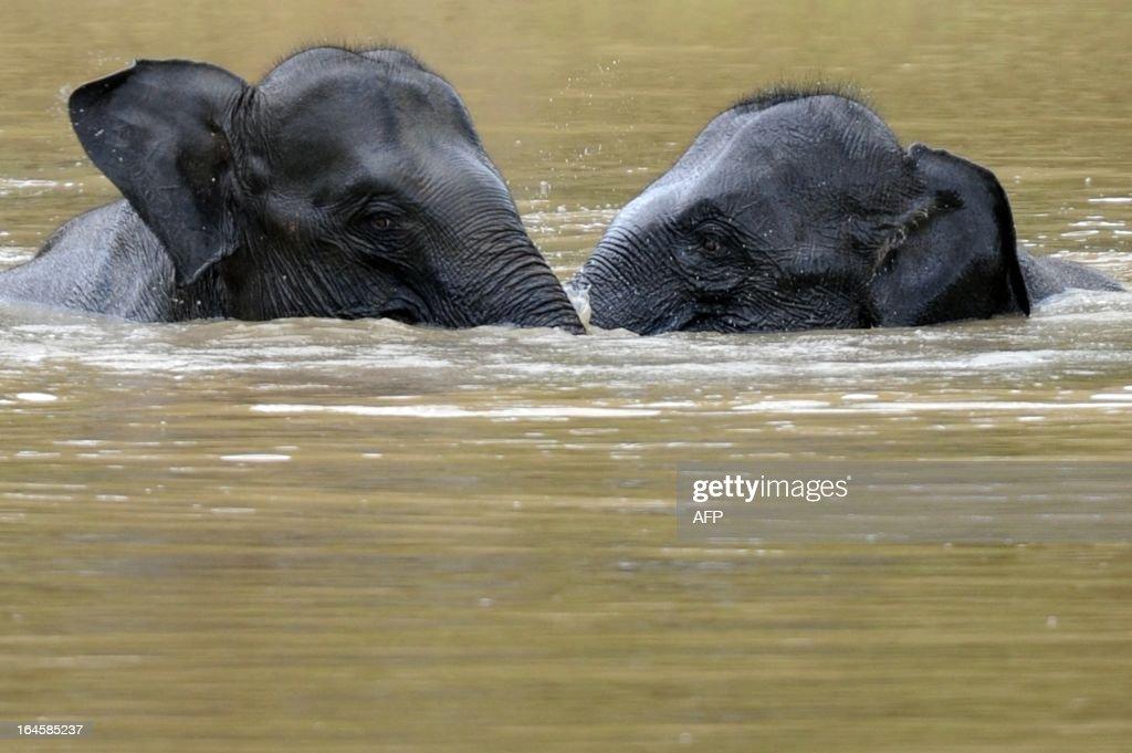Sri Lankan elephants bathe in a lake at Yala National Park in the southern district of Yala some 250kms southwest of Colombo on March 24 2013 Yala...