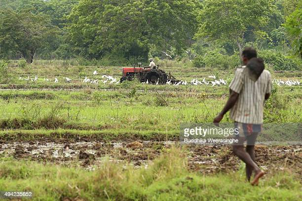 Sri Lankan ethnic Tamil paddy farmer uses tractor as prepare field for cultivate on October 25 2015 in Mallavi Sri Lanka Sri Lankan Prime Minister...