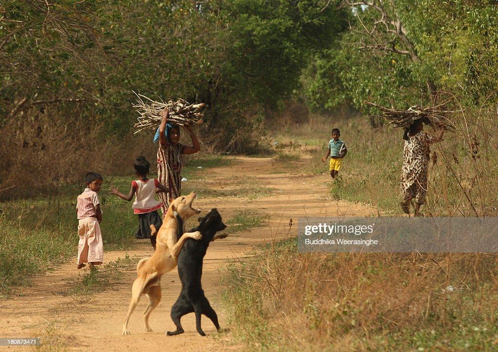 Sri Lankan ethnic Tamil women carry fire wood as street dogs fight at the former rebel capital on September 17 2013 in Kilinochchi Sri Lanka Sri...