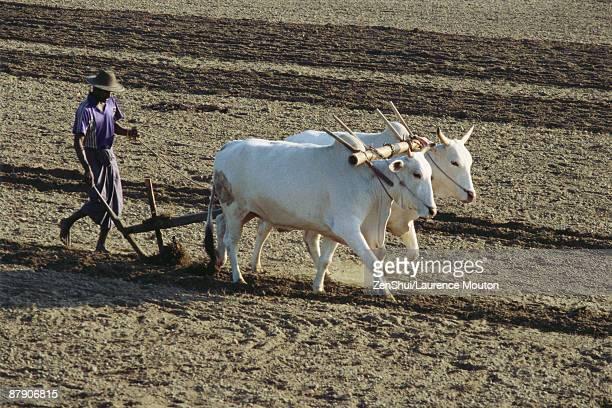 Sri Lankan farmer plowing field with yoked zebu