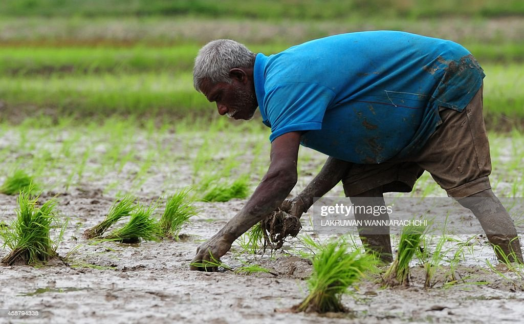 A Sri Lankan farmer work in a paddy field in Colombo on November 11 2014 Sri Lanka's economy has recorded eight percentplus growth for two straight...