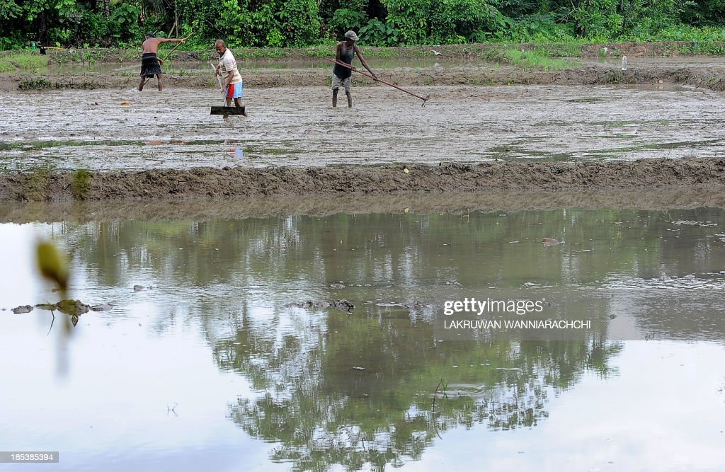 Sri Lankan farmers prepare a paddy field for sowing in Piliyandala, on the outskirts of Colombo on October 20, 2013. The IMF expects growth for the current calendar year to be about 6.5 percent, a full percentage point lower than Sri Lanka's central bank's forecast of 7.5 percent.