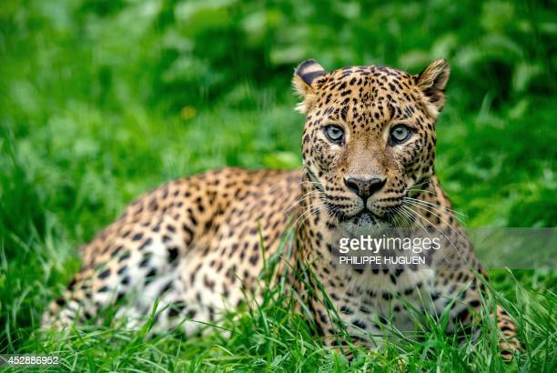 A Sri Lankan leopard lies in its cage in the zoo of Maubeuge northern France on July 29 2014 Two female Sri Lankan leopards were born on July 1 2014...