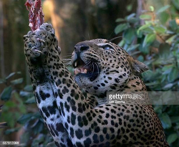 Sri Lankan Leopard Meat Fest